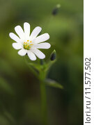 Купить «chickweed echte sternmiere gro bl», фото № 11577502, снято 25 мая 2019 г. (c) PantherMedia / Фотобанк Лори