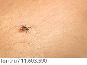 Купить «Tick - parasitic arachnid blood-sucking carrier of various diseases», фото № 11603590, снято 22 января 2020 г. (c) PantherMedia / Фотобанк Лори