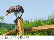 Купить «Red-Tailed Hawk Eating Captured Rabbit», фото № 11645770, снято 15 октября 2019 г. (c) PantherMedia / Фотобанк Лори