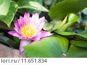 Pink lotus flower bloom on green foliage. Стоковое фото, фотограф Nalinratana Phiyanalinmat / PantherMedia / Фотобанк Лори