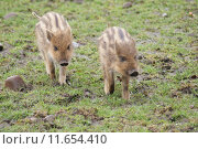 Купить «Wild Boar Piglet - Sus scrofa», фото № 11654410, снято 25 мая 2019 г. (c) PantherMedia / Фотобанк Лори