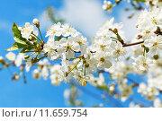 Купить «twig of cherry blossoms and white cherry flowers», фото № 11659754, снято 19 сентября 2019 г. (c) PantherMedia / Фотобанк Лори