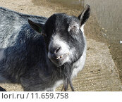 Купить «Pygmy Goat - Capra aegagrus», фото № 11659758, снято 19 февраля 2020 г. (c) PantherMedia / Фотобанк Лори