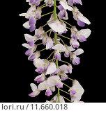 Купить «Close-up of a wisteria branch», фото № 11660018, снято 21 сентября 2019 г. (c) PantherMedia / Фотобанк Лори