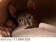 Купить «Лысая кошка (Донской сфинкс) с зелеными глазами», эксклюзивное фото № 11684926, снято 16 августа 2015 г. (c) Яна Королёва / Фотобанк Лори