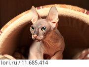 Купить «Лысая кошка (Донской сфинкс)», эксклюзивное фото № 11685414, снято 16 августа 2015 г. (c) Яна Королёва / Фотобанк Лори