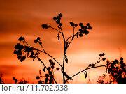 Купить «thistle, dry grass silhouette», фото № 11702938, снято 18 октября 2018 г. (c) PantherMedia / Фотобанк Лори