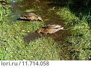 Утки моются на пруду. Стоковое фото, фотограф Кокорина Валерия Николаевна / Фотобанк Лори