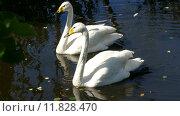 Купить «Пара лебедей на озере», видеоролик № 11828470, снято 21 августа 2015 г. (c) Михаил Коханчиков / Фотобанк Лори