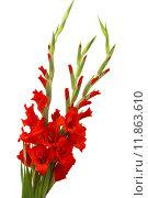 Купить «red gladiolus flowers», фото № 11863610, снято 20 марта 2019 г. (c) PantherMedia / Фотобанк Лори