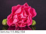 Купить «single flower of pink rose with buds  isolated on dark background», фото № 11882154, снято 19 сентября 2019 г. (c) PantherMedia / Фотобанк Лори