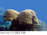Купить «coral reef with grat porites coral at the bottom of tropical sea in on blue water background», фото № 11882198, снято 21 июля 2019 г. (c) PantherMedia / Фотобанк Лори