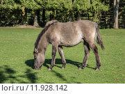 Купить «horse horses lmener wildpferde gregarious», фото № 11928142, снято 26 марта 2019 г. (c) PantherMedia / Фотобанк Лори