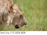 Купить «nature animal africa cat safari», фото № 11929454, снято 21 марта 2019 г. (c) PantherMedia / Фотобанк Лори