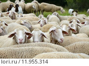 summer wool shepherd rhoen thuringia. Стоковое фото, фотограф Andrea Nelitz / PantherMedia / Фотобанк Лори