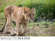 Купить «nature animal africa cat safari», фото № 11964654, снято 21 марта 2019 г. (c) PantherMedia / Фотобанк Лори