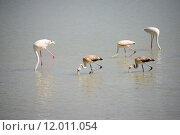 Купить «flamingos carotinoiden phoenicopteridae phoenicopteriformes pigmente», фото № 12011054, снято 25 марта 2019 г. (c) PantherMedia / Фотобанк Лори