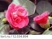Купить «pink blossom bloom flourish flourishing», фото № 12034894, снято 24 февраля 2019 г. (c) PantherMedia / Фотобанк Лори