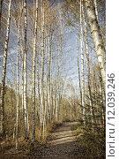 Купить «tree trees birch grove birkenwald», фото № 12039246, снято 24 августа 2019 г. (c) PantherMedia / Фотобанк Лори