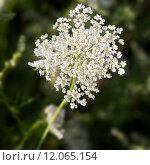 Купить «Common Yarrow (lat. Achillea millefolium) with green background», фото № 12065154, снято 19 сентября 2019 г. (c) PantherMedia / Фотобанк Лори
