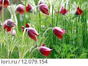 Купить «anemone vulgaris hahnenfu gew chs», фото № 12079154, снято 20 апреля 2019 г. (c) PantherMedia / Фотобанк Лори
