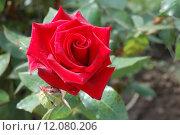 Алая роза. Стоковое фото, фотограф Ирина Семчук / Фотобанк Лори