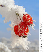 Купить «Rosehip branches covered with hoarfrost», фото № 12172506, снято 22 февраля 2019 г. (c) PantherMedia / Фотобанк Лори