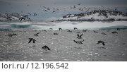 Купить «Many guillemots taking off over backlit water», фото № 12196542, снято 21 марта 2019 г. (c) PantherMedia / Фотобанк Лори