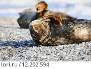 Купить «germany seal schleswigholstein carnivora animal», фото № 12202594, снято 21 октября 2018 г. (c) PantherMedia / Фотобанк Лори