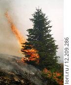 Купить «Coniferous forest in fire», фото № 12209286, снято 20 марта 2019 г. (c) PantherMedia / Фотобанк Лори