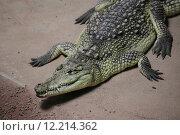 Купить «reptile crocodile alligator saurian brillenkaiman», фото № 12214362, снято 16 октября 2018 г. (c) PantherMedia / Фотобанк Лори