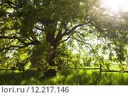 Купить «The old oak tree in bright summer day», фото № 12217146, снято 2 апреля 2020 г. (c) PantherMedia / Фотобанк Лори