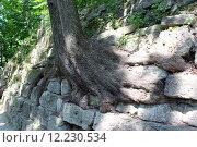 Купить «huge roots of the tree growing outside», фото № 12230534, снято 19 сентября 2019 г. (c) PantherMedia / Фотобанк Лори