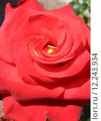 Купить «a beautiful flower of red rose», фото № 12243934, снято 27 марта 2019 г. (c) PantherMedia / Фотобанк Лори