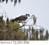 Купить «Osprey Perches On A Tree Branch», фото № 12251058, снято 25 марта 2019 г. (c) PantherMedia / Фотобанк Лори