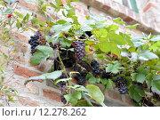 Купить «plant fruit facade grape vine», фото № 12278262, снято 23 февраля 2019 г. (c) PantherMedia / Фотобанк Лори