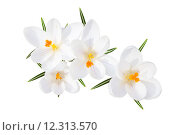 Купить «White spring crocus flowers isolated top view», фото № 12313570, снято 19 октября 2019 г. (c) PantherMedia / Фотобанк Лори