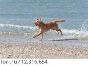 Купить «golden retriever hund strand wasser», фото № 12316654, снято 22 июля 2019 г. (c) PantherMedia / Фотобанк Лори