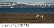 Купить «Panorama of reindeer and ship in Arctic», фото № 12319118, снято 25 апреля 2019 г. (c) PantherMedia / Фотобанк Лори