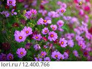 Купить «Цветы Косомс», фото № 12400766, снято 26 сентября 2011 г. (c) Морозова Татьяна / Фотобанк Лори