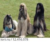 Купить «Afghane; Afghanischer; Windhund; Hund;», фото № 12416078, снято 20 мая 2019 г. (c) PantherMedia / Фотобанк Лори