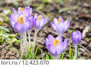 Купить «Vivid spring blooming crocuses or saffron sunlit flowers», фото № 12423070, снято 19 октября 2019 г. (c) PantherMedia / Фотобанк Лори