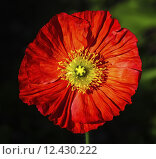 Spring fever red iceland poppy, papaver nudicaule. Стоковое фото, фотограф Elena Duvernay / PantherMedia / Фотобанк Лори