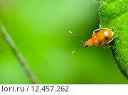 Купить «Cucurbit Leaf Beetle or Aulacophora indica», фото № 12457262, снято 17 декабря 2018 г. (c) PantherMedia / Фотобанк Лори
