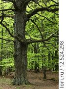 Купить «tree oak alte eiche baum», фото № 12524298, снято 15 июля 2020 г. (c) PantherMedia / Фотобанк Лори