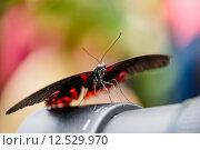 Купить «Swallowtail Butterfly (Papilio rumanzovia, Schwalbenschwanz) sitting on a camera lens», фото № 12529970, снято 23 января 2019 г. (c) PantherMedia / Фотобанк Лори