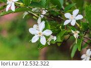 Купить «gardenia flower», фото № 12532322, снято 20 октября 2018 г. (c) PantherMedia / Фотобанк Лори