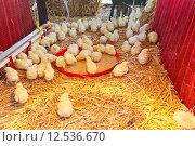 Купить «Chicks farm», фото № 12536670, снято 25 марта 2019 г. (c) PantherMedia / Фотобанк Лори