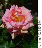 Купить «Роза чайно-гибридная Сент-Сэйшн (лат. Scent-Sation), Fryers Roses 1998», эксклюзивное фото № 12583894, снято 14 июня 2015 г. (c) lana1501 / Фотобанк Лори