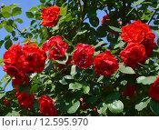 Купить «Роза флорибунда Диаблотин (лат. Diablotin, DELpo, Little Devil), Delbard 1961», эксклюзивное фото № 12595970, снято 14 июня 2015 г. (c) lana1501 / Фотобанк Лори